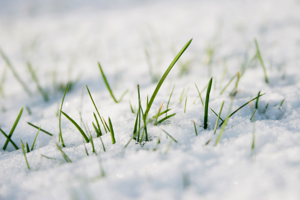 close up of snow on the ground, with a few blades of grass poking through